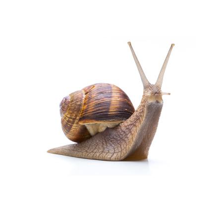 Single garden snail isolated on white
