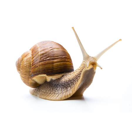 Big snail isolated on white