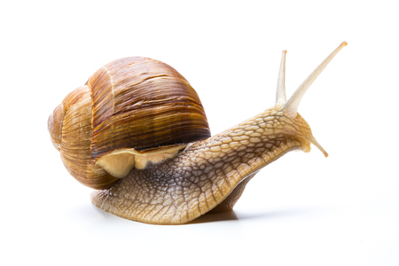 insulted: Big brown garden snail Stock Photo