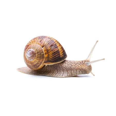 creep: Achatina fulica snail Big Brown creep away isolated on white background Stock Photo