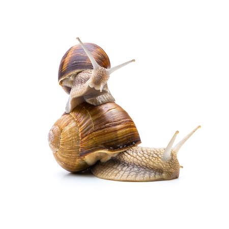 piggyback: piggyback snails family