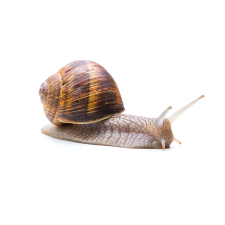 insulted: roman garden snail is Rawling isolated on white