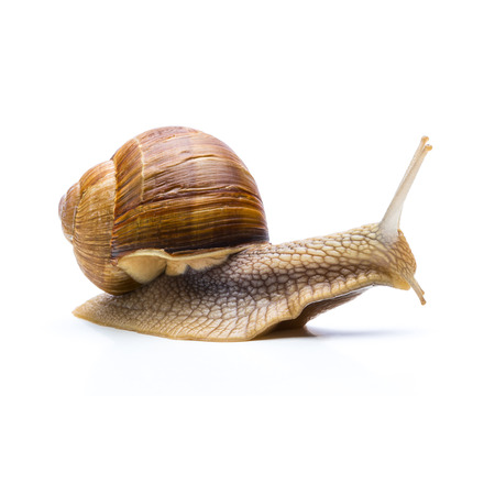 displacement: big brown snail slowly goes away isolated on white