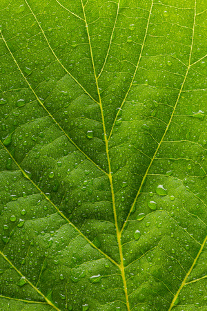branched: leaf with drops of water