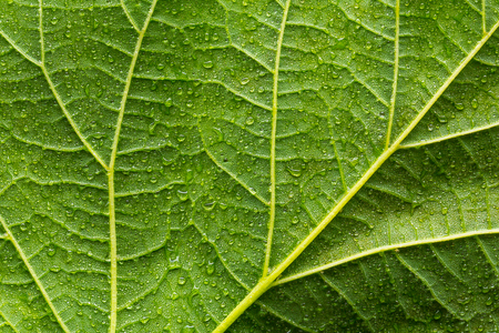 veins: Green leaf with veins and water drops Stock Photo