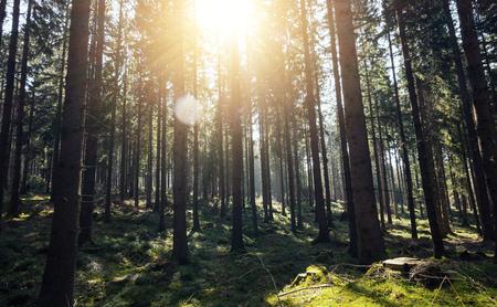 Sunshine árboles forestales - escena al aire libre pacífica