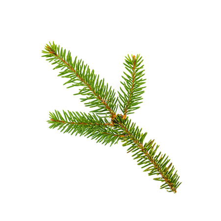 Branch of fir trees on white background