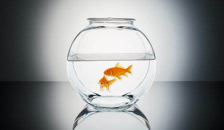 Goldfish couple in a fishbowl Stock Photo