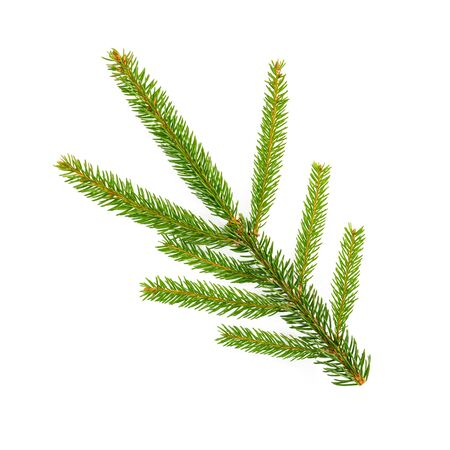spruce tree branch isolated on white background