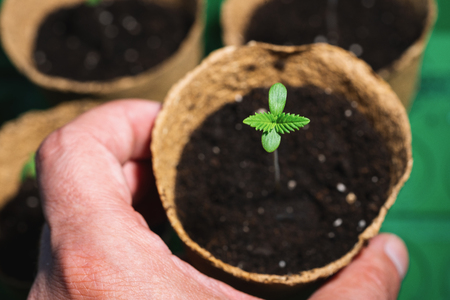 small plant of cannabis seedlings at the stage of vegetation in a pot holding hands, in an indoor marijuana for medical purposes 免版税图像