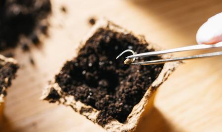 Poner semillas de cannabis con pinzas en una olla, cultivo de marihuana medicinal