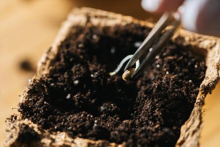 Pinzas poniendo semillas de cannabis en una olla, imagen de concepto de cultivo de marihuana en interiores Foto de archivo