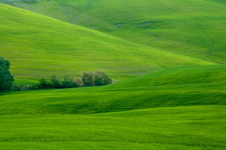 Green sloping wheat fields. 版權商用圖片