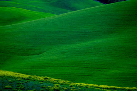 luxuriant: Green luxuriant sloping fields of wheat in the Tuscany region of Italy. This is in Val dOrcia, a valley in the heart of Tuscany that is a UN World Heritage Site. Stock Photo