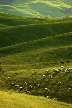Sheep grazing fields in the Tuscany region of Italy, in warm glow of evening light.