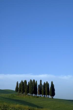 Pine trees on ridge, in the Tuscany region of Italy.
