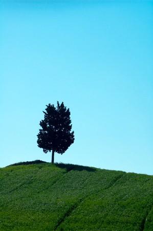 lone pine: Pino solitario en el campo, en la regi�n Toscana de Italia.