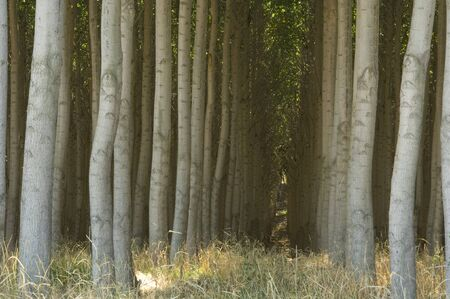 Cultivated poplar trees grown as a crop for pulp. Stock fotó