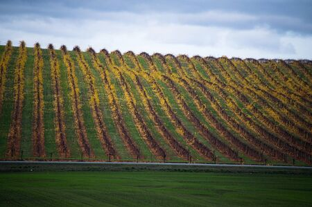 wine road: Vineyard in yellow autumnal colors, with a road and fields of grass Stock Photo