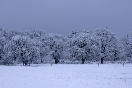squall: Fresh snow on a stand of trees. The light is blue from the heavy overcast of the passing storm.