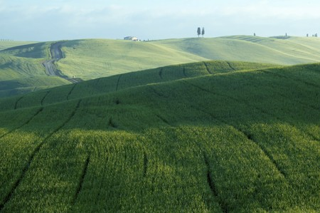 luxuriant: Green luxuriant sloping fields of wheat in the Tuscany region of Italy. This is in Val dOrcia, a valley in the of Tuscany that is a UN World Heritage Site.