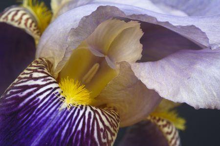 bearded iris: Close-up of stamens and petals of a purple bearded iris.