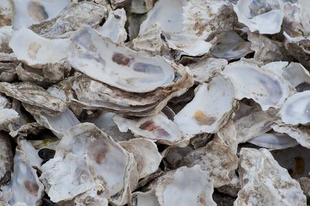 Heap of cleaned out oyster shells Stock fotó
