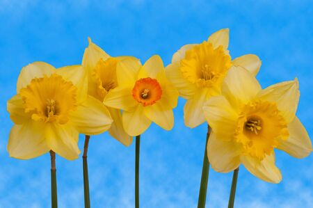 pano: Line of daffodils against a blue sky.