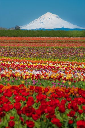 A large field of blooming, colorful tulips, planted in rows.