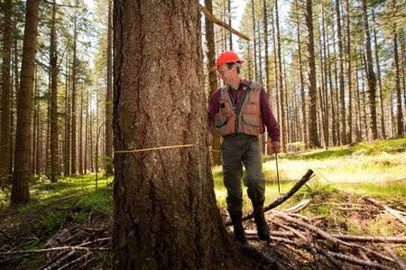 Forester using a tape measure to guage the girth of a Douglas fir Stock Photo