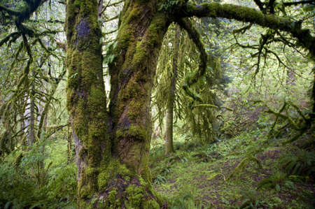 Trunk of an old growth bigleaf maple tree in a Pacific Northwest rainforest photo
