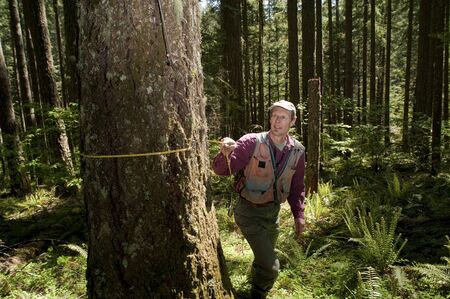 forester: Forester using a tape measure to guage the girth of a Douglas fir Stock Photo
