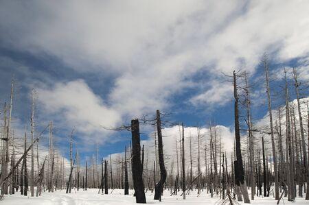 forest fire: Despu�s del incendio forestal en Yellowstone, en la nieve, invierno.  Foto de archivo