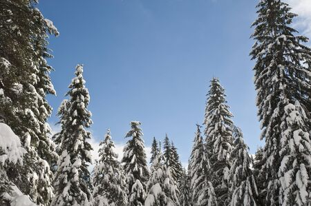 Snowy winter forest with blue sky photo
