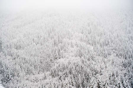 Forest covered with snow in a blizzard photo