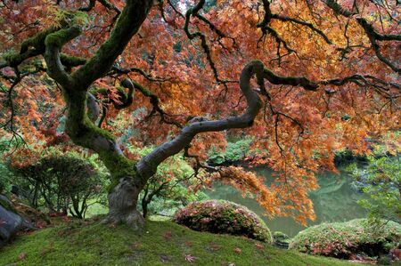 garden pond: Red maple, Japanese garden, autumn