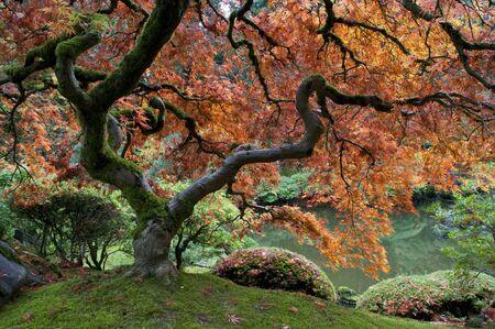 japanese maple tree: Red maple, Japanese garden, autumn