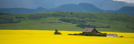 Farm house in field of canola in Alberta, Canada photo
