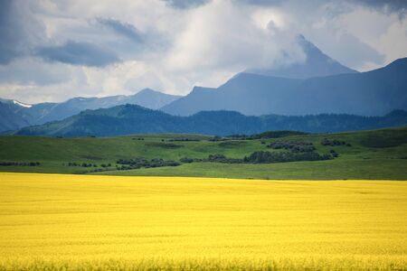Field of yellow canola in Alberta, Canada photo