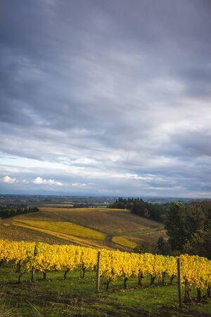 willamette: Changing vineyard leaves in fall, Willamette Valley, Oregon