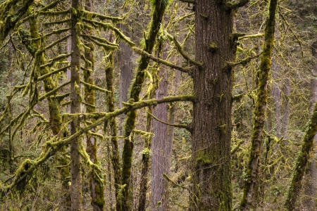 temperate: Old growth temperate rainforest, Oregon