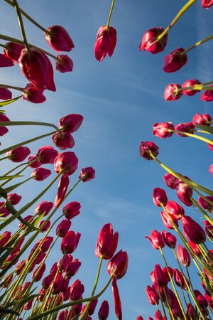 from below: Red tulips on tall stems seen from below