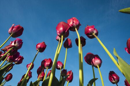 Tulips on long stems seen from below photo