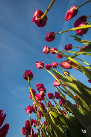 Upward view of tulips with long stalks photo