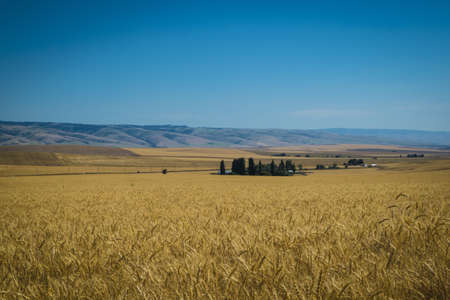 Fields of wheat fields ready for harvest in Washington State Stock Photo