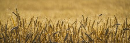 Close up of wheat ready to harvest photo
