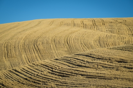 washington state: Fields of wheat fields ready for harvest in Washington State Stock Photo
