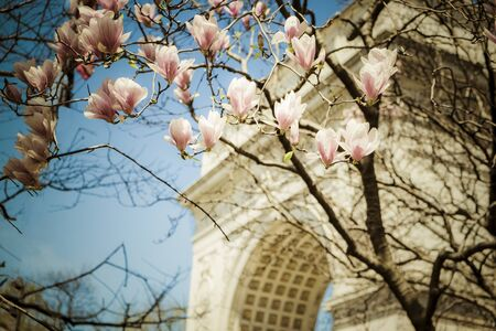 Tulip trees blooming in spring in Washington Sq., Park, New York City