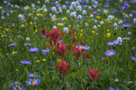distort: Red paintbrush and other wildflowers in the Rocky Mountains, Idaho