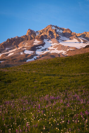Sunset glow on wildflowers and Mt. hood, Oregon Stock Photo - 22760791